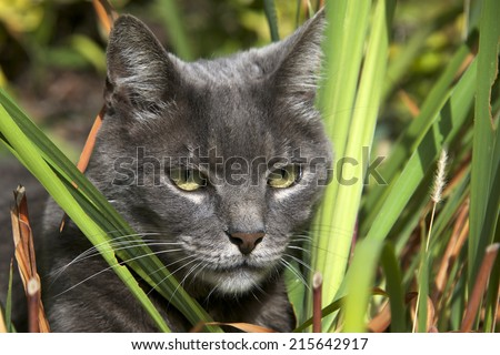Domesticated grey cat pretending to be a wild jungle cat hunting through the brush. The Chartreux is a rare breed of domestic cat from France recognized by a number of registries around the world.