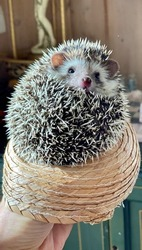 Domesticated hedgehog inside a Mexican sombrero hat in front of green dresser and chess board. soft, prickly baby pet critter with big ears and a cute face.
