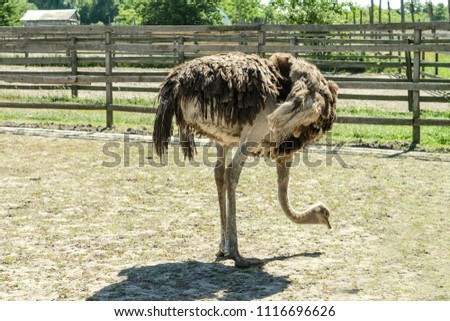Domesticated wild african ostrich (struthio camelus) pecks food in an aviary on a ostrich farm. Wild ostriches on a bird farm. Close-up.