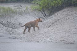 Dominant adult male Bengal tiger walking up the tidal flat in torrential rain during the monsoon in Sundarban Tiger Reserve, West Bengal, India