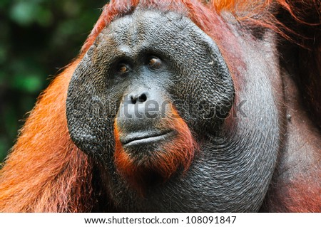 Dominant male orangutan with the signature developed cheek pads that arise in response to a testosterone surge. The background is defocused dark green foliage and provides some room for copy.