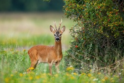 Dominant roe deer, capreolus capreolus, back standing in his territory by rosehip bush with red fruits. Colorful nature scenery of wild animal with orange fur listening with interest.