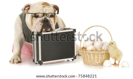don't keep eggs all in one basket - english bulldog sitting beside basket of eggs with a chick