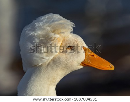 Donald Trump Duck