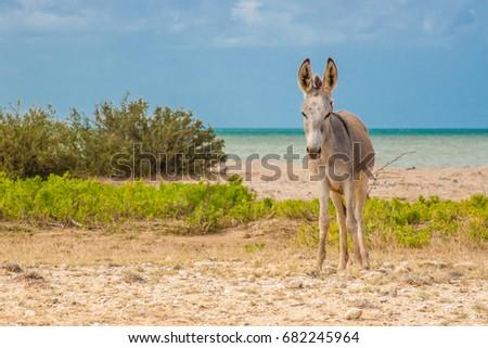 Donkey beside the beach at Cabo de la Vela #682245964