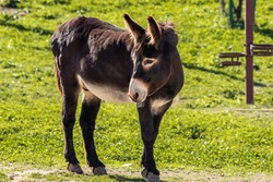 donkey Domestic equid mammal smaller than horse, wi