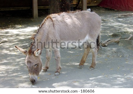 Donkey grazing at the zoo