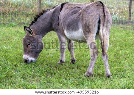 Donkey grazing on green grass in farmland portrait #495595216
