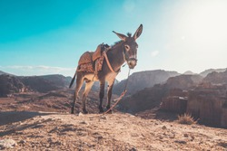 Donkey in a desert to be ride inside Petra. donkey with a saddle on its back on ayt blue sky under a bright sun in the desert.
