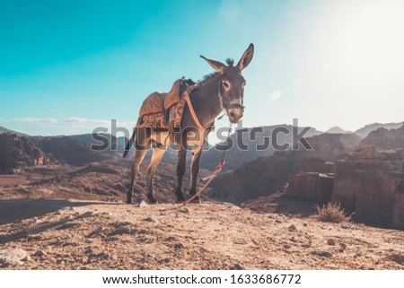 Photo of  Donkey in a desert to be ride inside Petra. donkey with a saddle on its back on ayt blue sky under a bright sun in the desert.