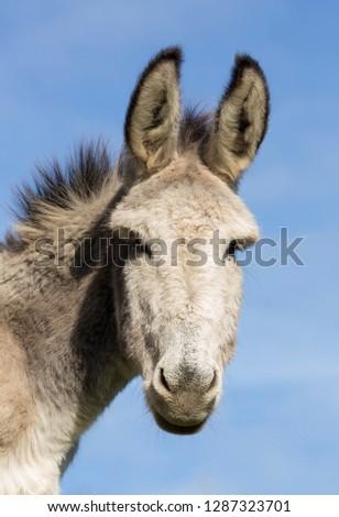 Donkey in Asturias, Spain. #1287323701