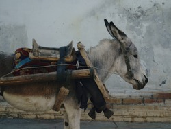 donkey in harness