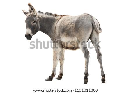 Photo of  donkey isolated a on white background