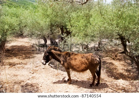 Donkey mule in s mediterranean olive tree field of Majorca Spain