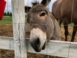 Donkey on an acreage with a horse in the background saying hello through a fence