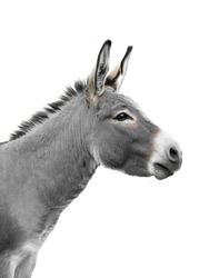 donkey portrait isolated on white background