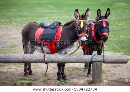 Donkey taxi colorful harnessed. Tourism concept. #1384722734