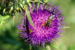 Donkey thistle with perched bee