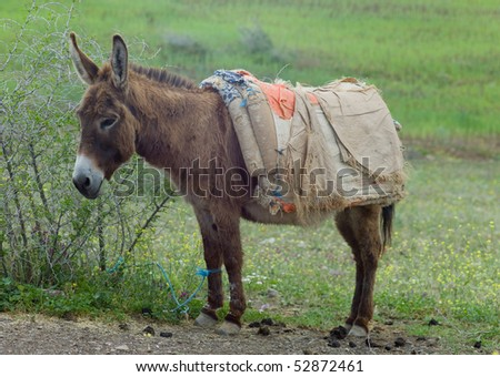 Donkey tied with a rope to a shrub in Morocco