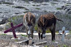 Donkeys at animal cemetery in Aruba