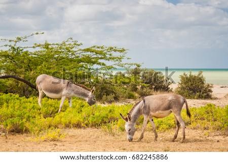 Donkeys beside the beach at Cabo de la Vela #682245886