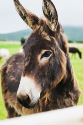 Donkeys Farm Animal brown color close up, cute funny pets.