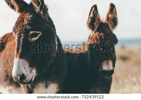 Donkeys Farm Animal brown colour close up cute funny pets (The donkey or ass, Equus africanus asinus is a domesticated member of the Equidae or horse family)