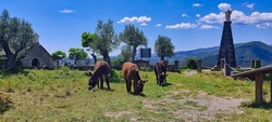 donkeys grazing in the meadow of the convent