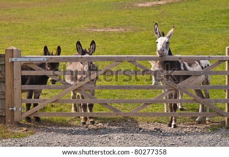 donkeys standing at a five bar wooden gate hoping for a treat.