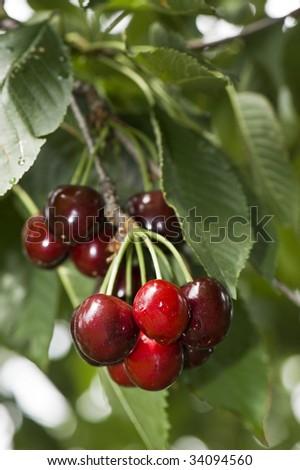 Door County Cherries (Montmorency type) on the Tree