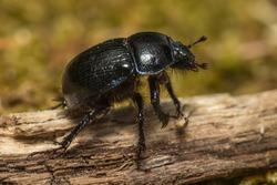 Dor Beetle (Anoplotrupes stercorosus) Family Geotrupidae
