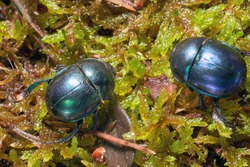 Dor beetle (Anoplotrupes stercorosus) in forest moss, selective focus. Beautiful beetle Dor beetle. Lithuania.