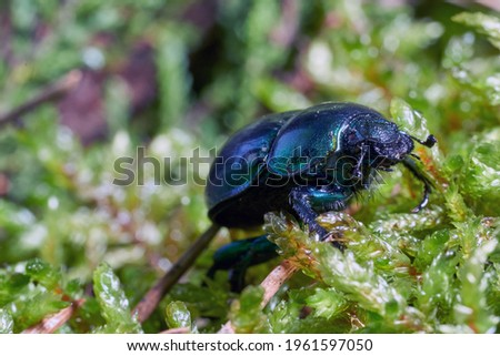 Dor beetle (Anoplotrupes stercorosus) in forest moss, selective focus. Beautiful beetle Dor beetle. Lithuania. Stockfoto ©
