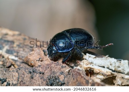 Dor beetle (Anoplotrupes stercorosus) in summer forest, macro, selective focus. Beautiful beetle Dor beetle on the bark of an old tree stump. Stockfoto ©