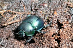 Dor beetle (Anoplotrupes stercorosus) in summer forest, selective focus. Beautiful beetle Dor beetle.