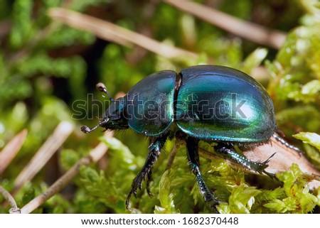 Dor beetle (Anoplotrupes stercorosus) in summer forest, selective focus. Beautiful beetle Dor beetle.  Stockfoto ©