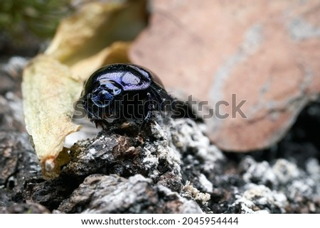 Dor beetle (Anoplotrupes stercorosus) in summer forest, selective focus. Beautiful beetle Dor beetle on the bark of an old tree stump. Stockfoto ©