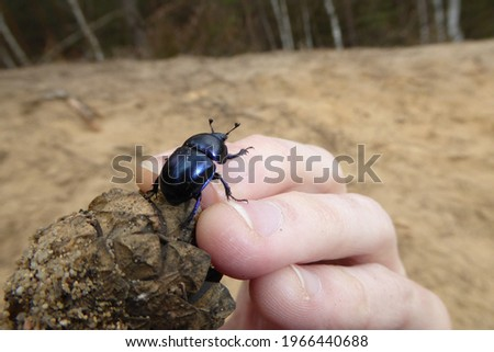 Dor beetle (Anoplotrupes stercorosus) on a light, granular sand underground in spring. Close up of a bug insect. Dung Beetle held by hand. Insect size in relation to fingernail size. Cone Pine. Stockfoto ©