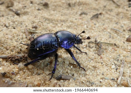 Dor beetle (Anoplotrupes stercorosus) on a light, granular sand underground in spring. Close up of a bug insect. Stockfoto ©