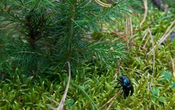 dor beetle, Geotrupes stercorosus among moss. Dora beetle, Geotrupes stercorosus among the moss. Blue and black beetle in the forest