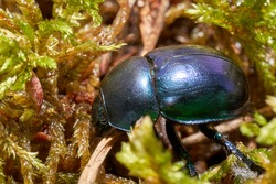 Dor beetle  inhabit fresh areas of broadleaves forests, mainly in beech forests, in the moist mixed forest and in fresh coniferous forests.