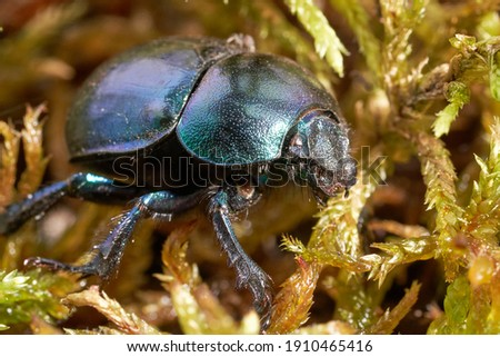 Dor beetle  inhabit fresh areas of broadleaves forests, mainly in beech forests, in the moist mixed forest and in fresh coniferous forests. Stockfoto ©