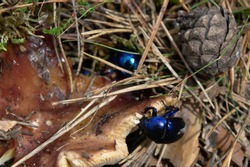 Dor beetles on a forest rune