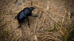 Dor (Geotrupes stercorarius). Big black bug. The body shape is very compact and arched toward the top.