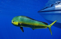 Dorado dolphin fish also known as mahi-mahi or Coryphaena Hippurusl