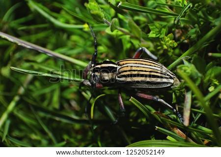 Dorcadion alexandris, bugs, beetle, insects