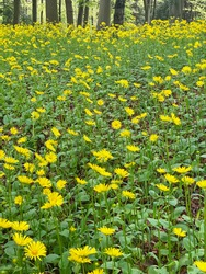 Doronicum orientale, Leopard's Bane, spring flowers in a forest.