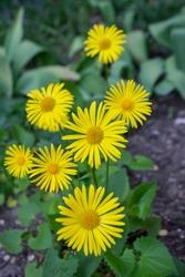 Doronicum orientale leopards bane bright yellow spring flowers in bloom, ornamental garden flowering plant, green leaves