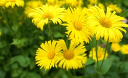 Doronicum orientale yellow flower close up. Also known as leopard's bane flowers.