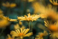 Doronicum orientale yellow flower close up. Also known as leopard's bane flowers. Daisy like flower, moody background.
